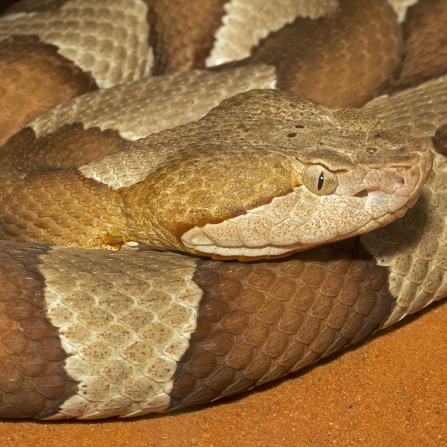 """Broad-banded Copperhead Snake Closeup"" stock image"