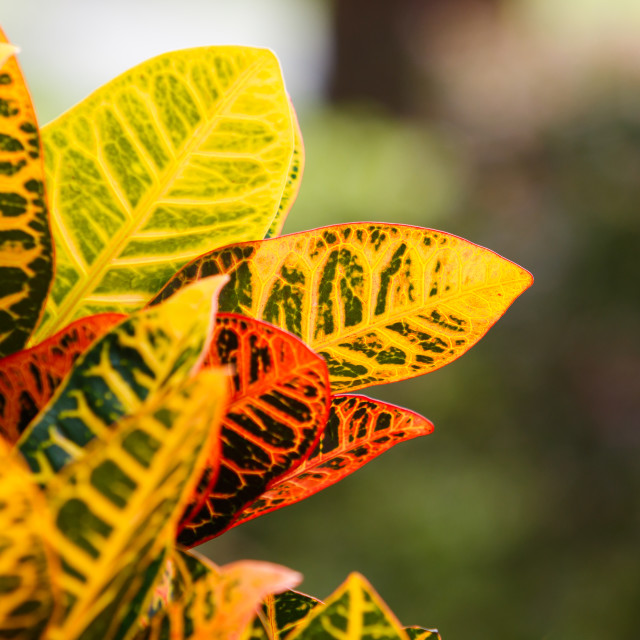 """Croton Leaves"" stock image"