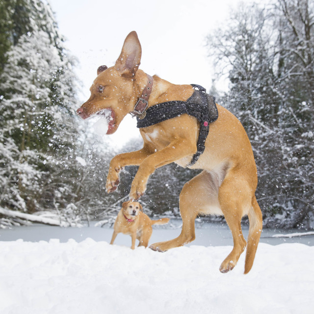 """Dog catches snowballs"" stock image"
