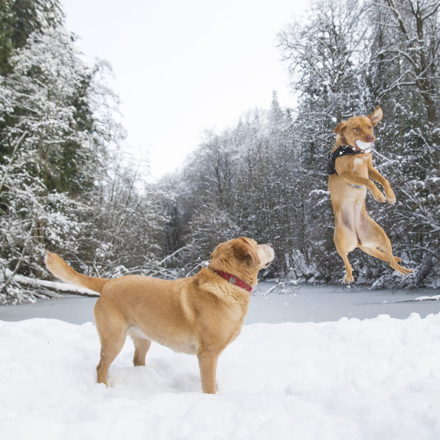 """Dogs catching snowballs"" stock image"
