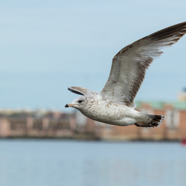 """Ring-billed Seagull"" stock image"