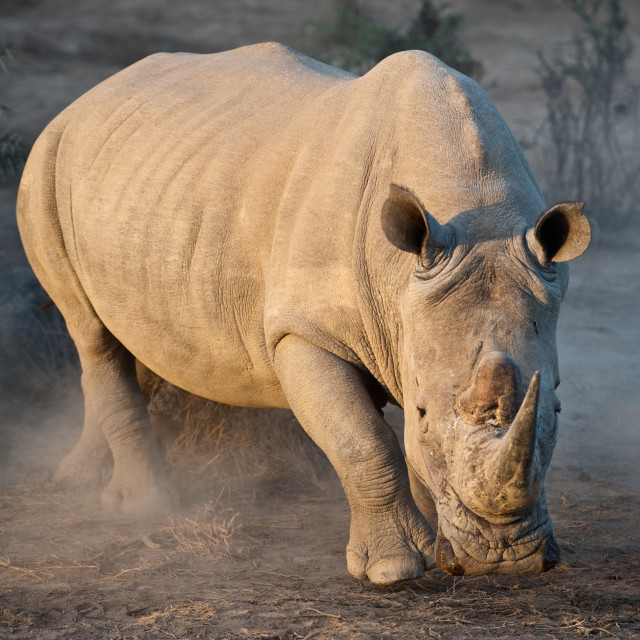 """White Rhino - Ready or not , here I come....."" stock image"