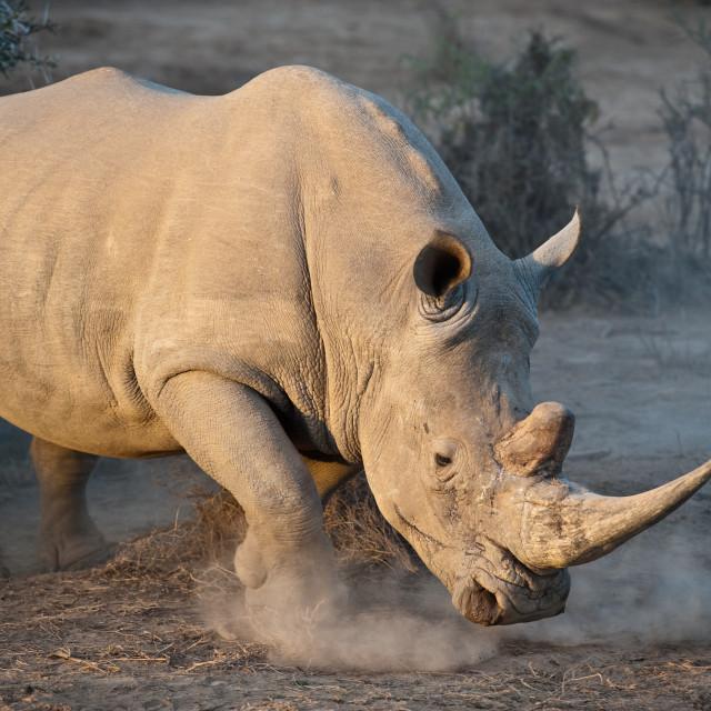 """""""White Rhino - Not Happy....."""" stock image"""