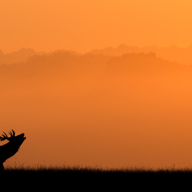 """silhouette of a stag"" stock image"