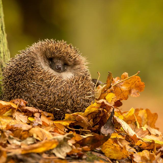 """""""Sleepy hedgehog"""" stock image"""