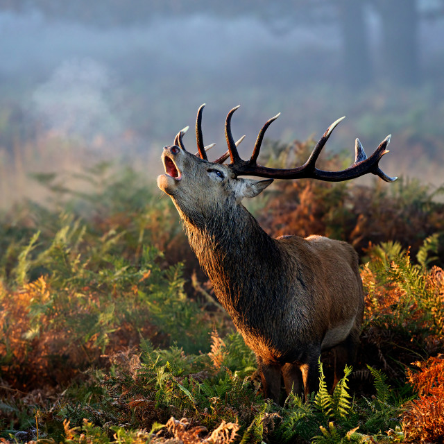 """Red stag roar"" stock image"