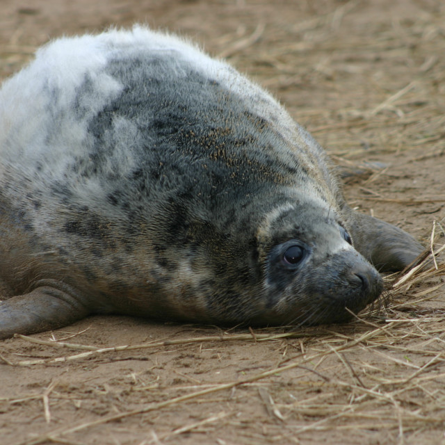 """Moulting Grey Seal Pup"" stock image"