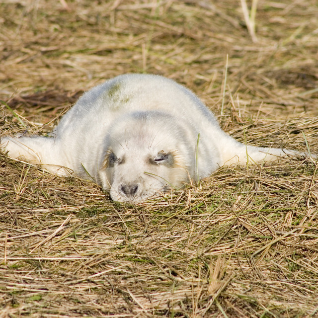 """Grey seal pup in the grass"" stock image"
