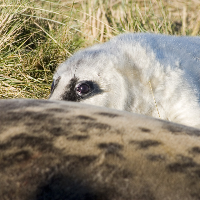 """Grey seal pup peeping"" stock image"