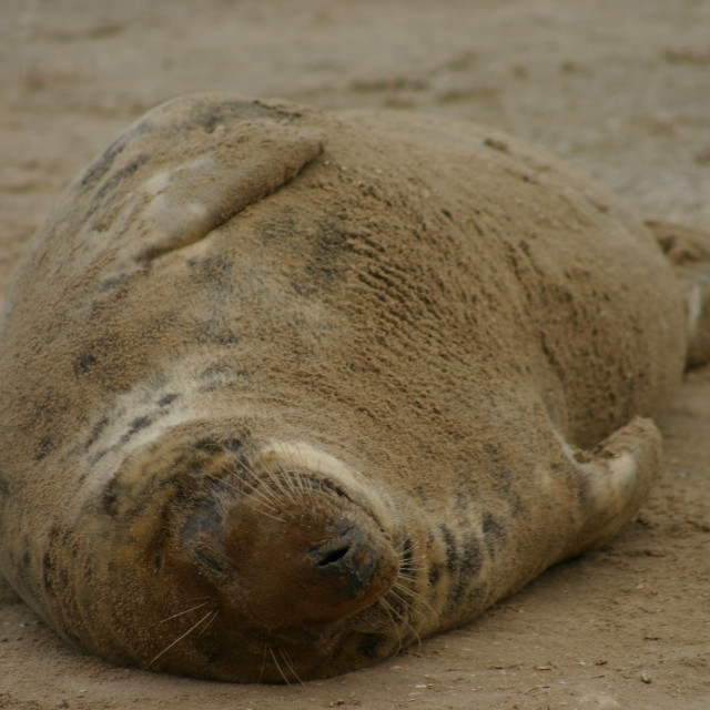 """Grey Seal Lying on back"" stock image"