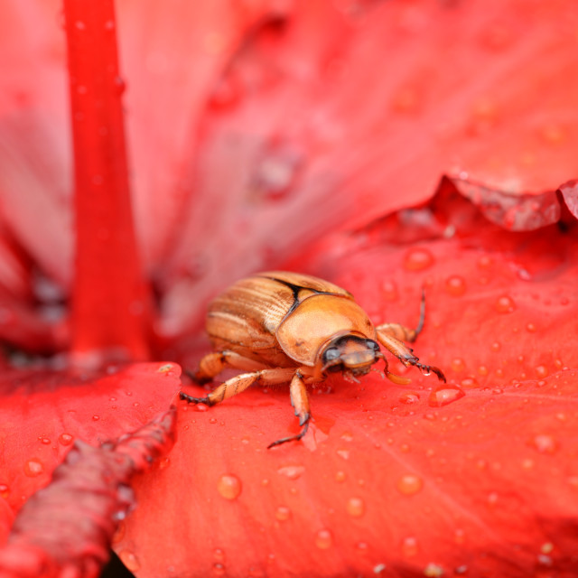 """""""Bug on red petals"""" stock image"""