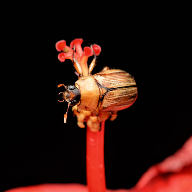 """""""Brown bug on red stamens"""" stock image"""