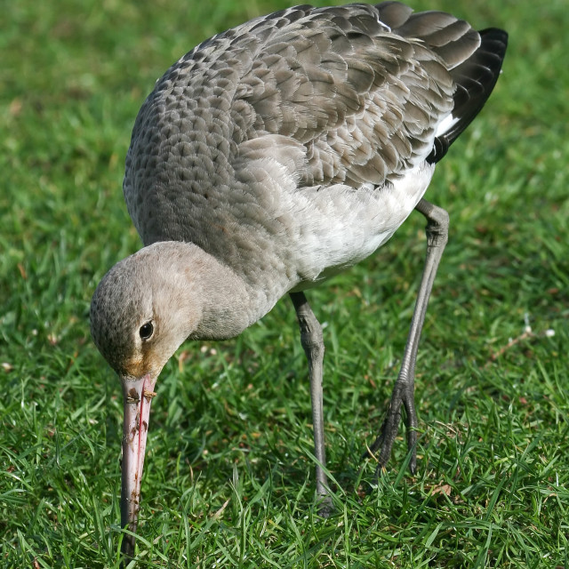 """Black-tailed Godwit"" stock image"