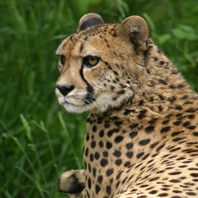 """Portrait of a Cheetah"" stock image"