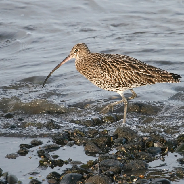 """Wading Curlew"" stock image"