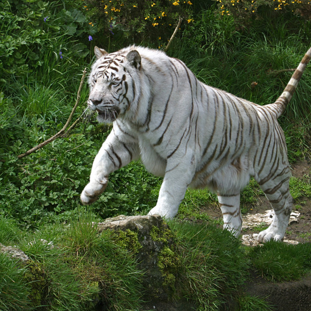 """White Tiger"" stock image"