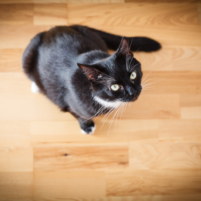 """""""Black cat looking at you"""" stock image"""