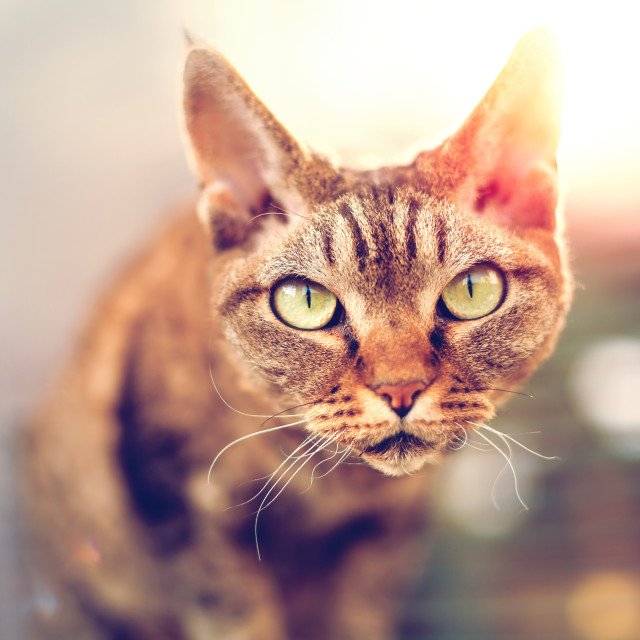 """Devon Rex purebred domestic cat looking at camera"" stock image"