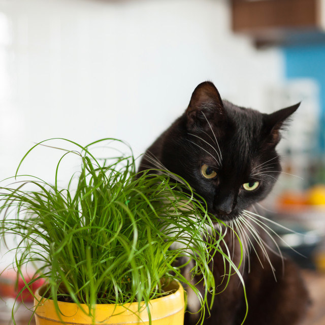 """Black cat eating cat grass"" stock image"