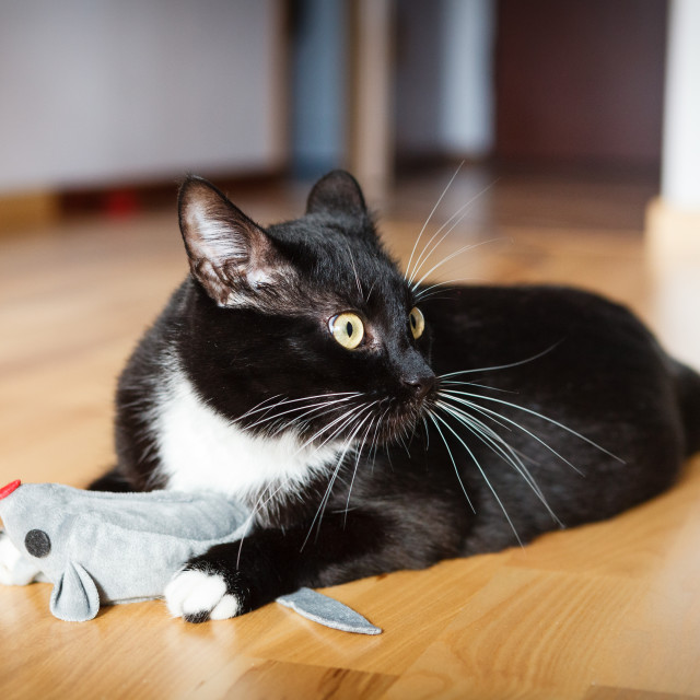 """Cat playing with mouse-toy looking to the right"" stock image"