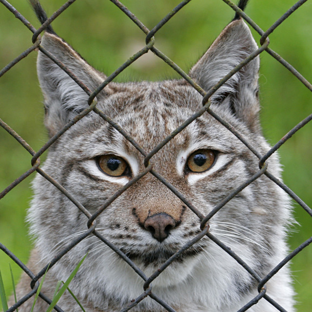 """Caged Lynx 2"" stock image"