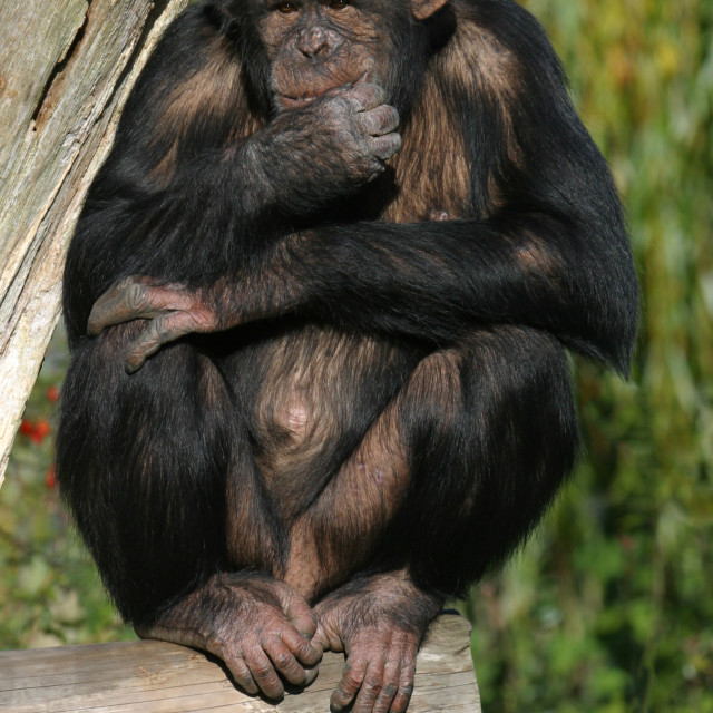 """Chimpanzee in a Zoo"" stock image"