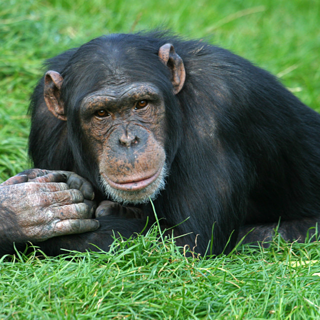 """Old Chimpanzee"" stock image"