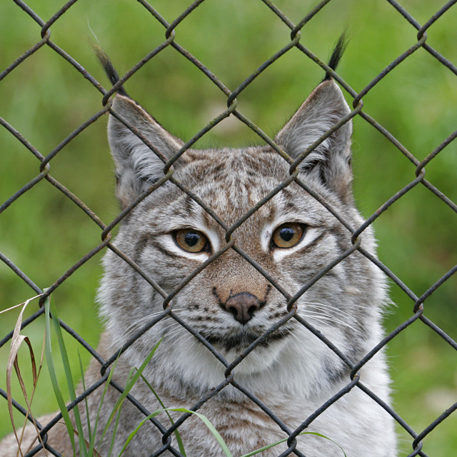 """Caged Lynx 1"" stock image"
