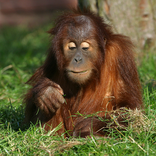 """Young Orangutan"" stock image"