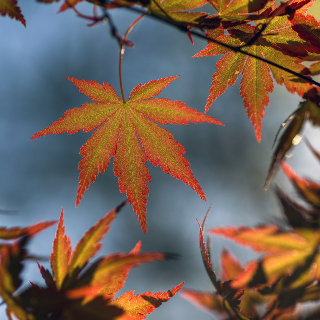 """Maple"" stock image"