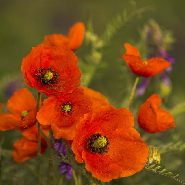 """""""panorama with field poppies"""" stock image"""