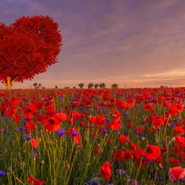 """tree in the shape of a red heart on the poppy meadow"" stock image"