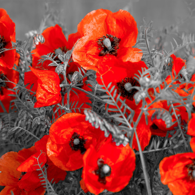 """panorama with field poppies"" stock image"