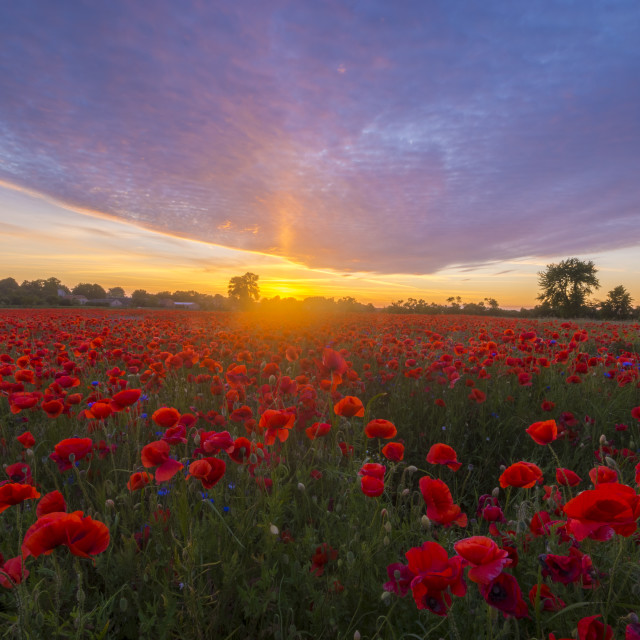 """Poppies in sunset light"" stock image"