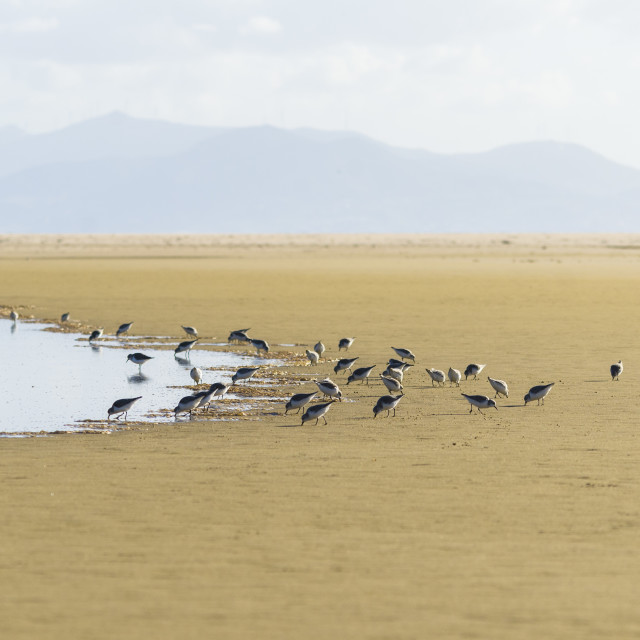 """""""Waders, Sanderlings birds at beach Tarifa, Spain"""" stock image"""