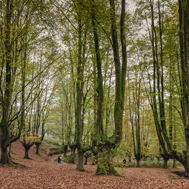 """Beech trees"" stock image"