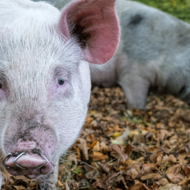 """Pannage Pig, New Forest"" stock image"