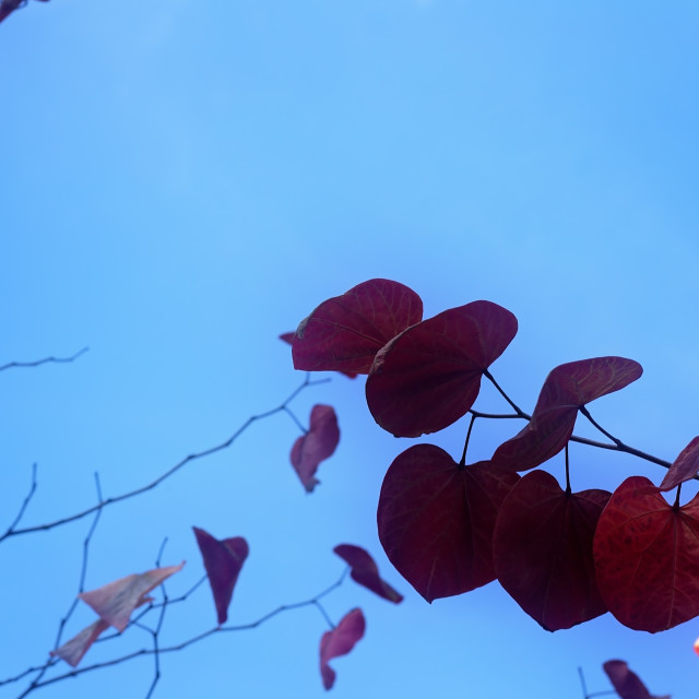 """""""Heart Shaped Leaves on Branches with Blue Sky Background"""" stock image"""