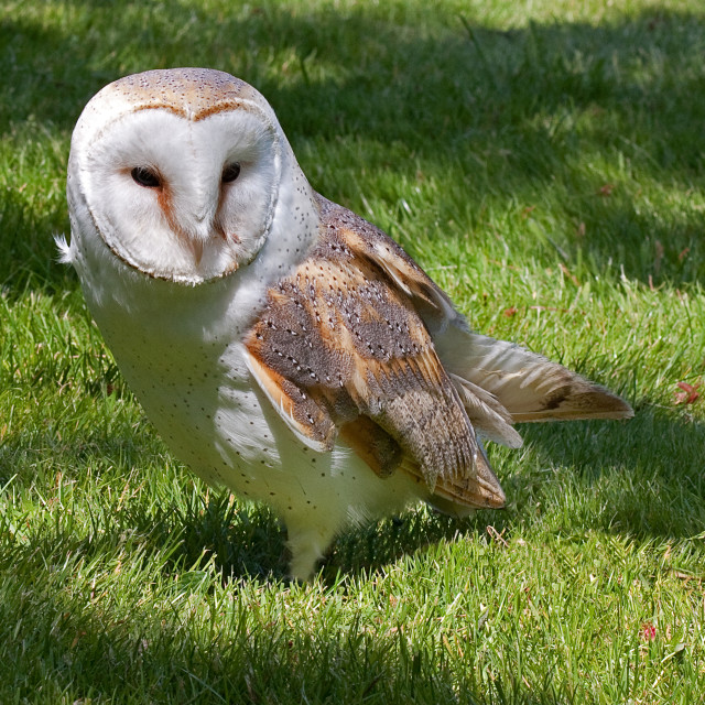 """Barn Owl in the Grass"" stock image"