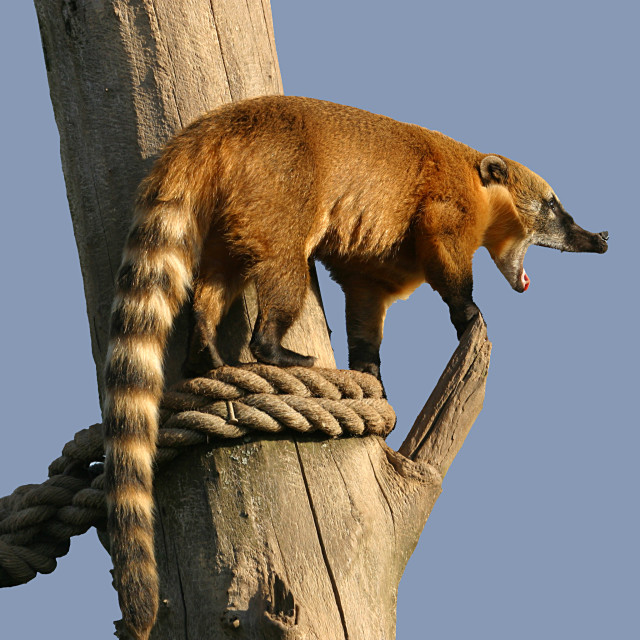 """Snarling Coati"" stock image"