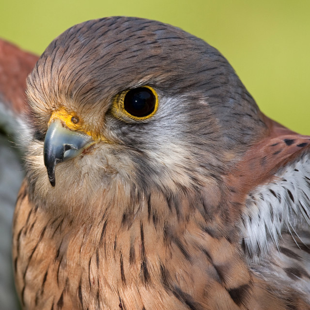 """Kestrel Closeup."" stock image"