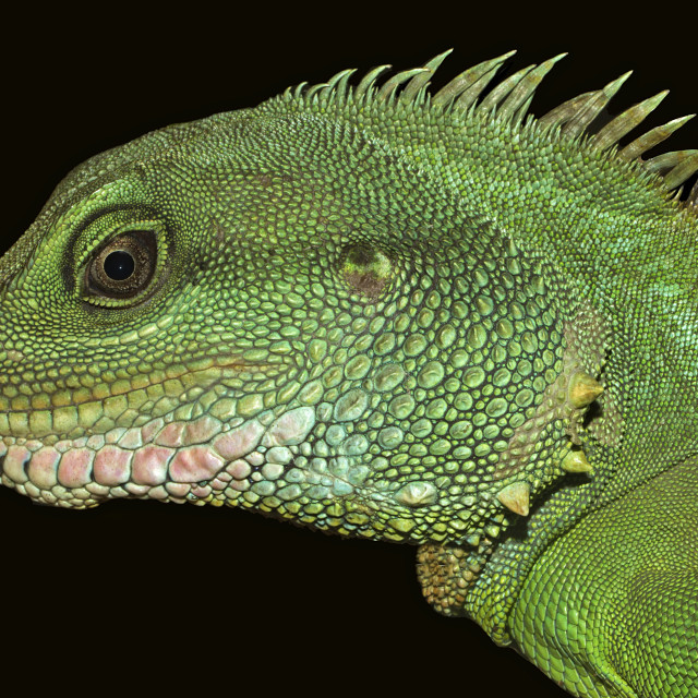 """Thai Water Dragon Exteme Closeup"" stock image"