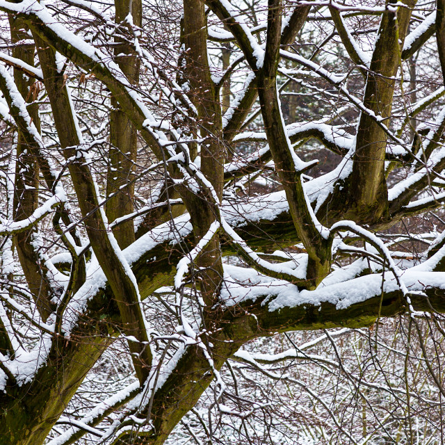 """Snow covered tree"" stock image"