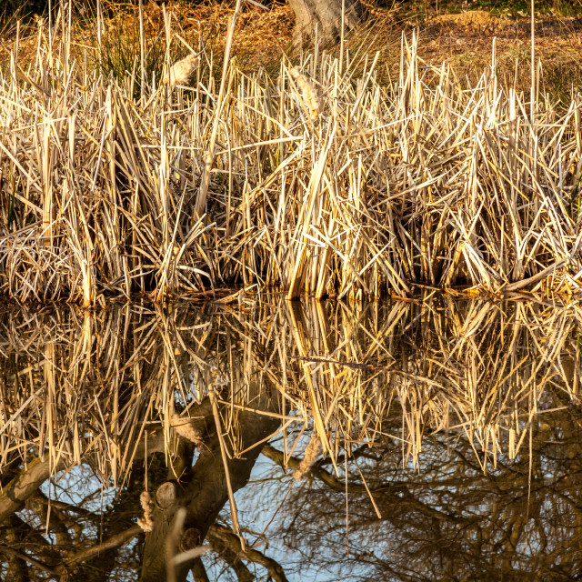 """Golden Reeds"" stock image"
