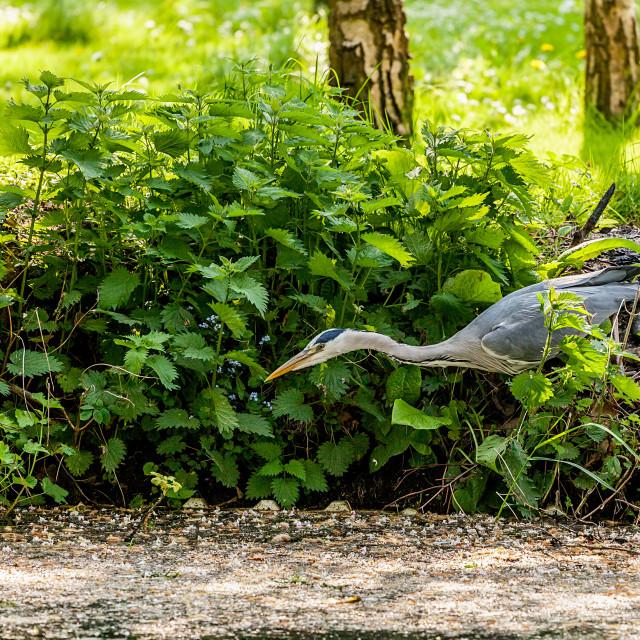 """""""Stalking Heron"""" stock image"""