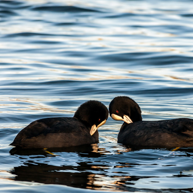"""Courting Coots"" stock image"