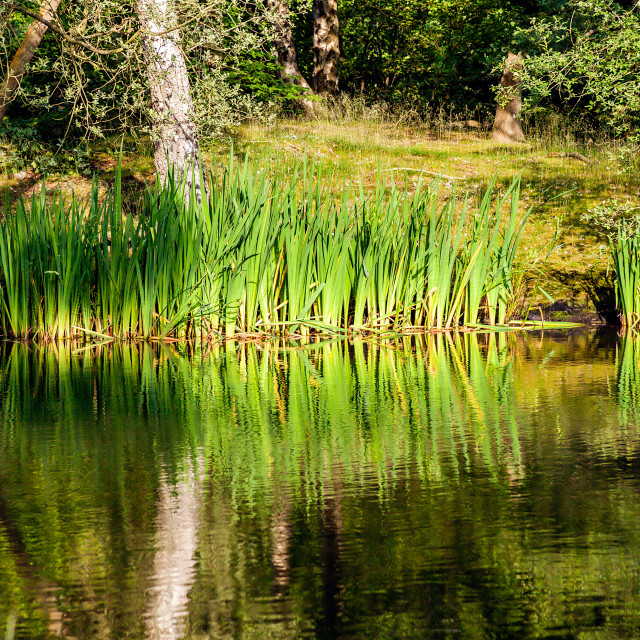 """""""Reed Bed Reflection"""" stock image"""