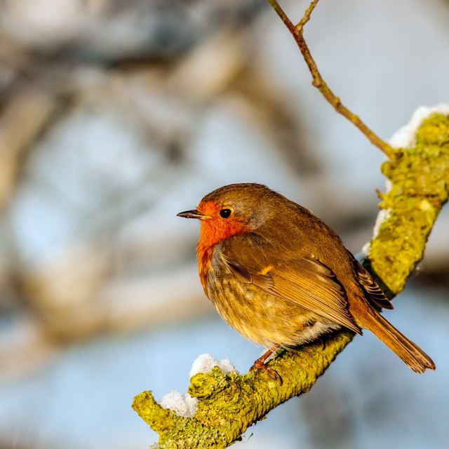 """Robin Red-Breast"" stock image"