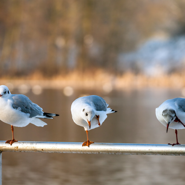 """Black-Headed Gull's"" stock image"