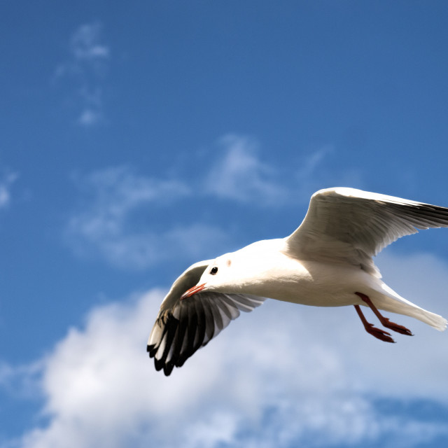 """Kittiwake"" stock image"